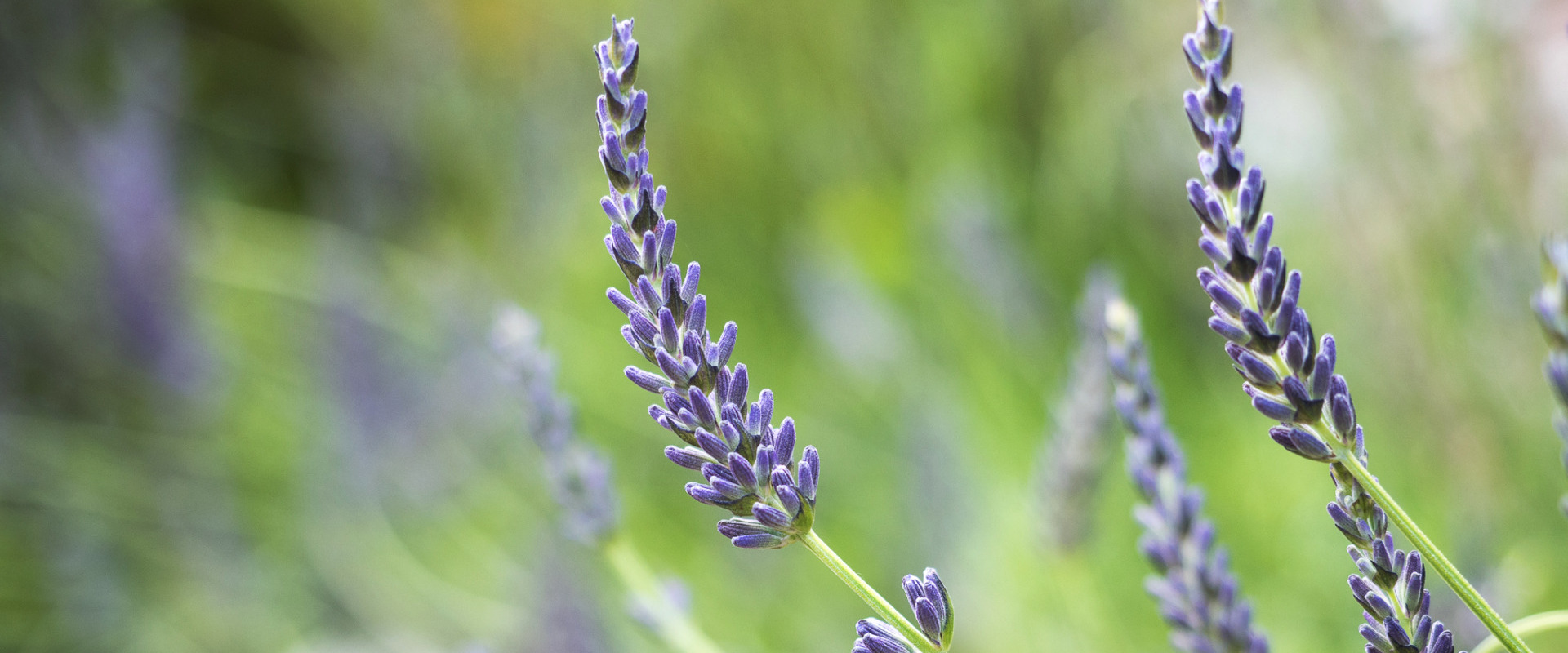 Lavender in garden of self catering cottages for large groups in Devon